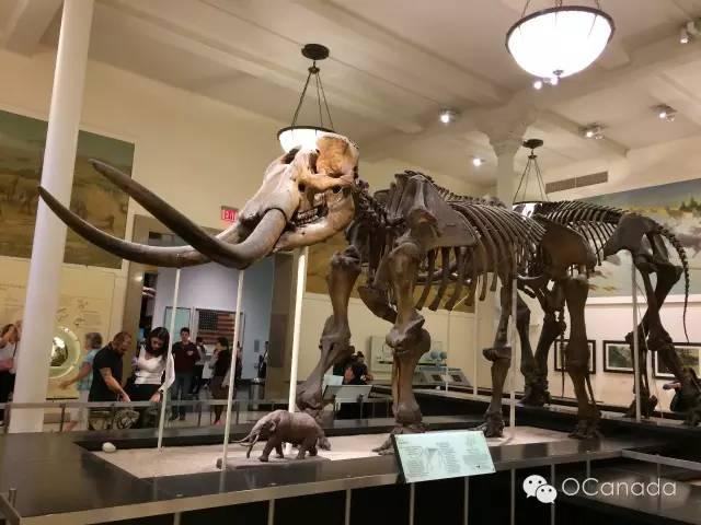 自然历史博物馆里的大象的祖先